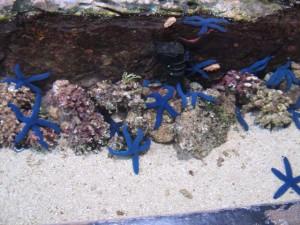 Feel blue? Be blue! Seesterne in der Underwater World.