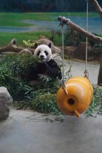 Pandas - Der Stolz des Zoos Taipeh
